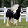 My sweet and lovely Gypsy Vanner is available