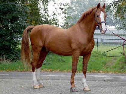 Gelderlander's horse Photo Album - 40.5KB