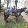 Registered Paint breeding stock mare