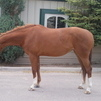 Saffron-coming 6year old Rheinlander Mare