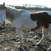 Registered Paint Gelding Tobiano/Overo