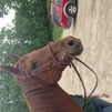Cricket, chestnut quarter horse mare