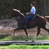 Singlefooting gelding/Speed Racker