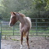 AQHA incentive fund Red Roan Stud Colt