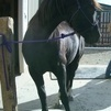 Beautiful Black Tennessee Walker Gelding