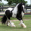 Healthy Gypsy Vanner Horses For Sale