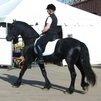 Frisian Gelding Horse For Sale Called ( NERO)