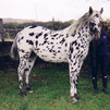 Beautiful outstanding Appaloosa horse for sale