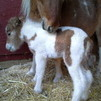 Chianti bred tobiano filly