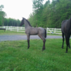 twhbea 9 months old gorgeous blue roan filly - $20
