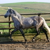 Beautiful Reg. Buckskin 3/4 Andalusian Gelding