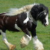 Grea handsome gypsy Vanner