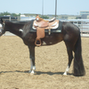 Western Pleasure Horse for sale