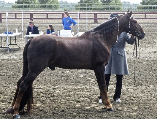 Tennessee Walker Horse Breed