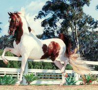 Made in America - the American Saddlebred Horse