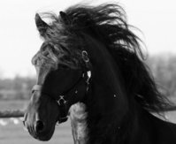 The Friesian - The Black Horse of Friesland