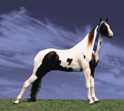 The Spotted Saddle Horse - The Gaited Horse of Many Colors