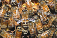 Killer Bees - Protect Your Horses from a Swarm