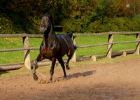 The European Trakehner Warmblood Horse Is On Track to Glory