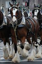 The World's Most Famous Draft Horse - The Clydesdale