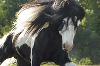 The Gypsy Vanner Horse - A Flash of Magic by Many Names