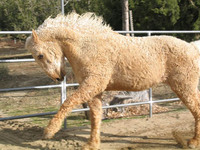 You Have a What? The Horse with the Permanent Wave - The American Bashkir Curly Horse