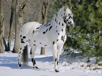 The Appaloosa's Heritage Is As Colorful and Unique As Its Coat