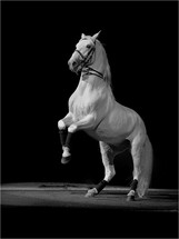 The World Famous Performing White Stallions - The Lipizzan