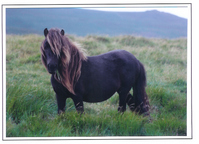 The Moorland National Heritage of the Dartmoor Pony