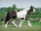 Chocolate Horse Farm Gypsy Vanner Horses