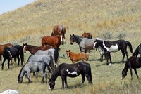 Over a thousand horses sold by U.S. government sent to slaughter