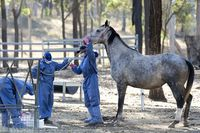 Two More Queensland Horses, Dog Test Positive for Hendra