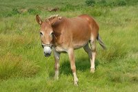 Mules Rule Over Horses, Donkeys in Spacial Cognition Tests
