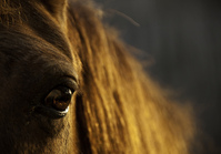 Indiana Police Investigate Horse Hair Thefts