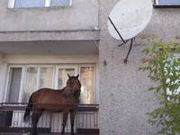 Man keeps horse on Balcony, you'll never guess why