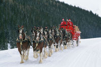 Budweiser Clydesdale Horses Pulled From Holiday Adverts