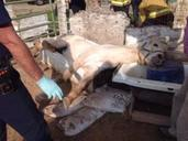 Appaloosa Horse Rescued From Bathtub By Firefighters!