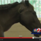 Horse put to sleep after injected with Gasoline. WATCH THE VIDEO HERE